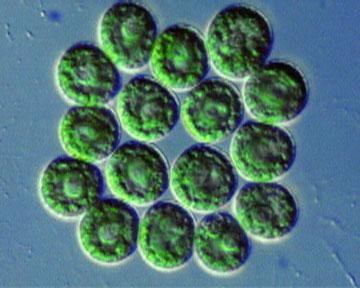 Gonium Microscope Slide Gonium pectorale (Gree...